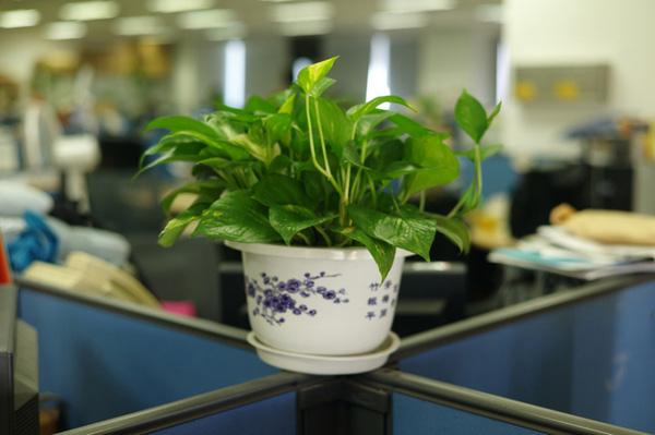 Chọn cây xanh phong thủy để phòng làm việc