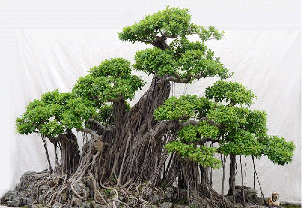 Ý nghĩa của cây si phong thủy