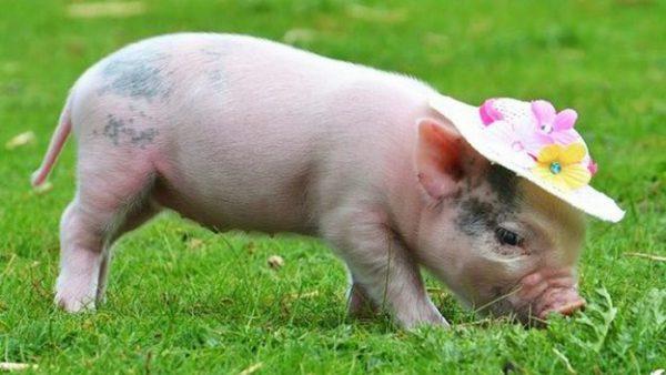 Mơ thấy lợn dự báo điều gì trong cuộc sống của bạn?