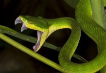 Giải mã giấc mơ thấy rắn hổ mang xanh là điềm gì?