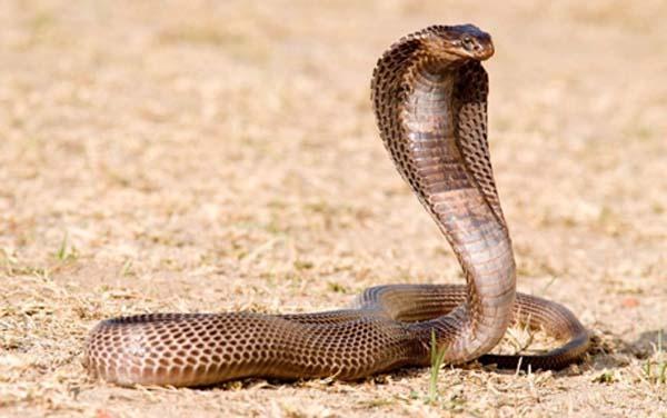 Mơ thấy rắn hổ mang là điềm báo gì? lành hay dữ?