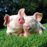 Ngủ mơ thấy lợn là điềm báo may mắn, thuận lợi