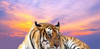 Mơ thấy hổ là điềm lành hay dữ?