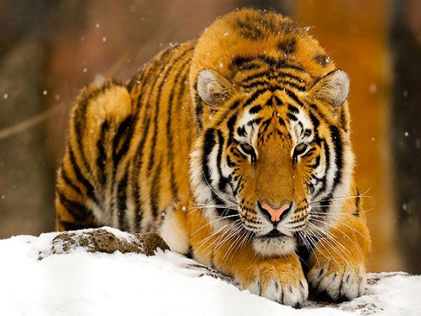 Ngủ mơ thấy hổ là điềm báo gặp nhiều tai ương