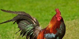 Ngủ mơ thấy gà trống là điềm báo gì?