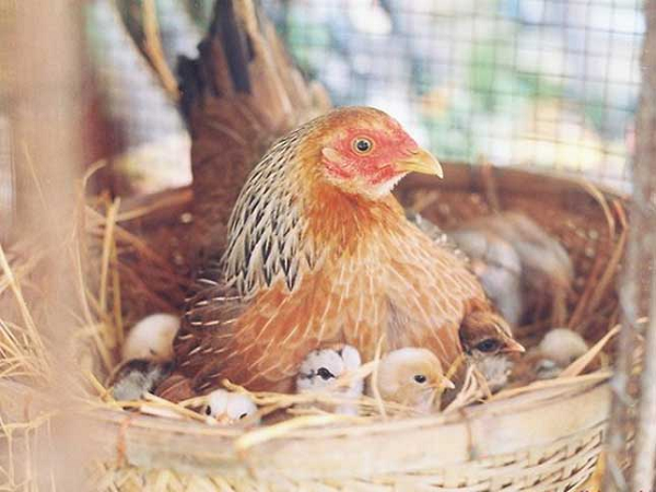 Mơ thấy gà mẹ ấp con có ý nghĩa gì?