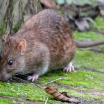 Ngủ mơ thấy chuột là điềm báo gì?
