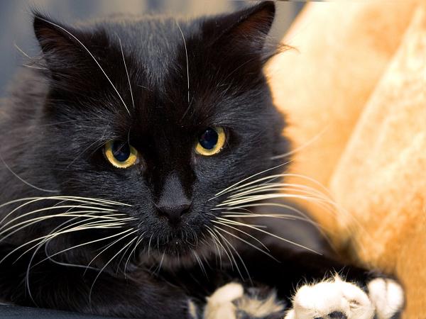 Ngủ mơ thấy mèo đen có xui xẻo không? điềm báo gì?