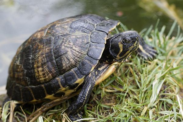 Ngủ mơ thấy rùa bò là điềm báo may mắn