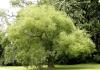 Cây phong thủy trồng trước nhà, giúp gia chủ rước tài lộc