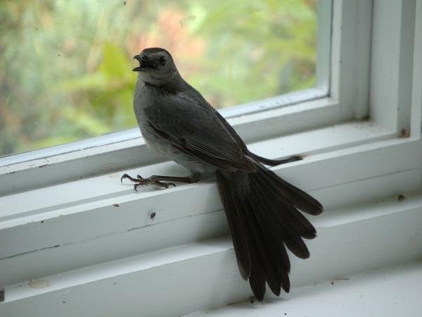 Chim bay vào nhà dự báo trước điềm gì cho gia đình bạn?