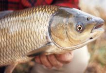 Mơ thấy cá trắm dự báo may mắn hay xui xẻo
