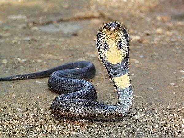 Ngủ mơ thấy rắn hổ mang là điềm gì?