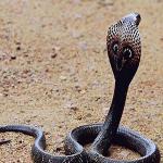 Giải mã giấc mơ thấy rắn hổ mang