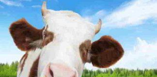 Mơ thấy con bò là điềm báo gì, đánh số mấy dễ trúng?